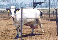 """""""الغذاء والدواء"""" تتابع إيقاف استيراد لحوم الأبقار البرازيلية في الولايات المتحدة الأمريكية وتشدد إجراءاتها"""