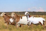 وزارة الزراعة ترفع الحظر عن استيراد الحيوانات الحية من جنوب أفريقيا